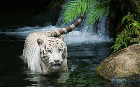 White Tiger Beautiful Wallpapers