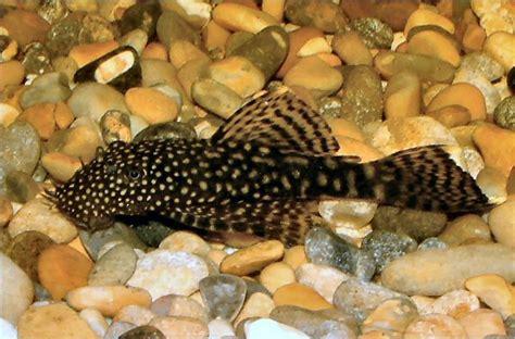 aquarium guppy et crevettes feu poisson nettoyeur ancistrus