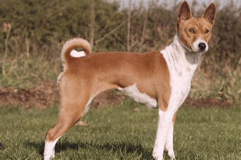 smart dogs that dont shed breeds that dont bark a lot breeds picture