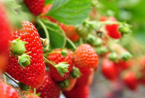 Erdbeeren Nachfrage Zeigte Sich Von Ihrer Ruhigen Seite