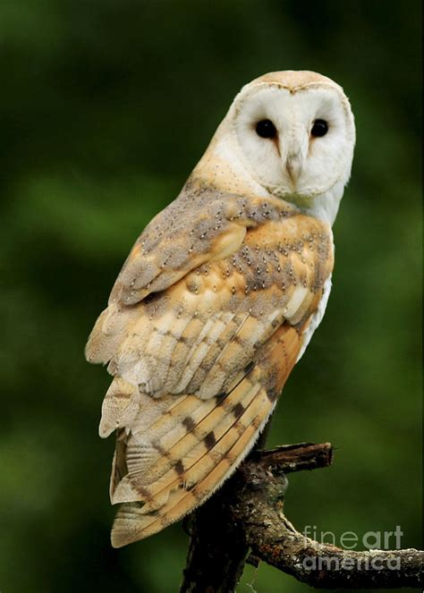 barn owl for barn owl photograph by inspired nature photography
