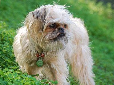 low shedding dogs list low shedding breeds low shedding list