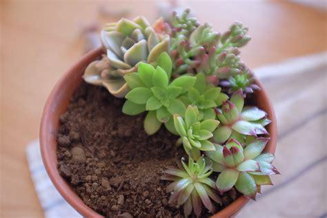 l arrosage des succulentes