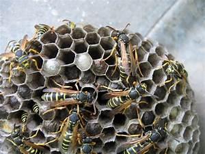 Was Wespen Nicht Mögen : wespennest sicher entfernen das sollten sie beachten chip ~ Markanthonyermac.com Haus und Dekorationen