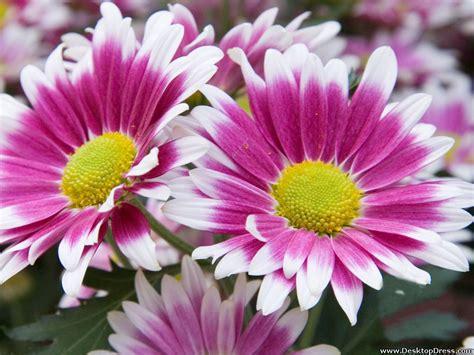 Pink Daisy Desktop Wallpaper - WallpaperSafari