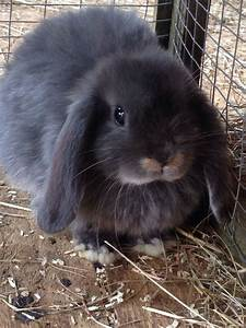 blue otter dwarf lops and blue fawn dwarf lops | Droitwich ...