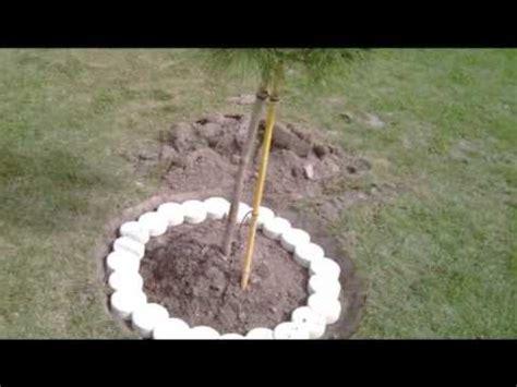plantation d un pin parasol r 233 alis 233 par services versa loire