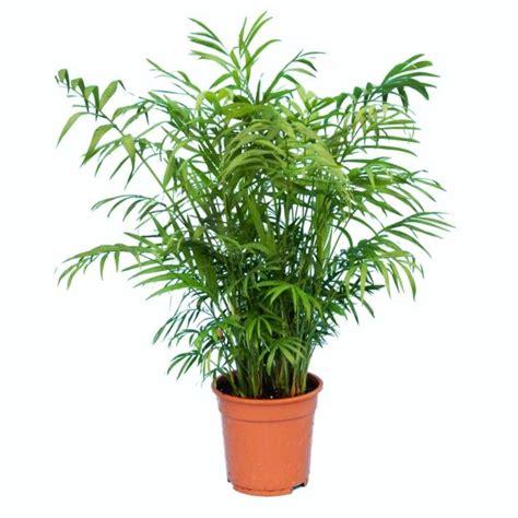 palmier en pot exterieur photos de conception de maison agaroth
