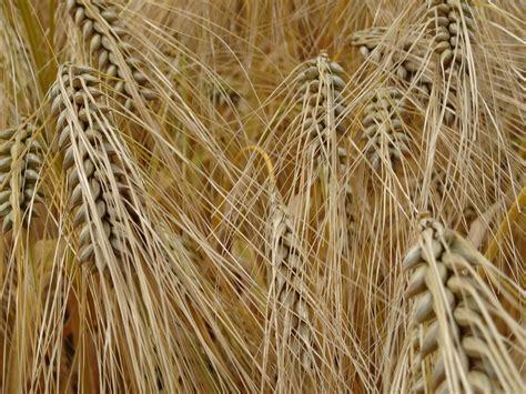 photo gratuite c 233 r 233 ales l orge grain image gratuite sur pixabay 436774