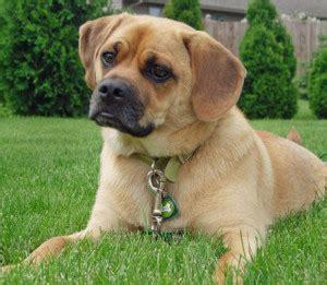 does puggle shed a lot all about the pug beagle mix aka the puggle dogable
