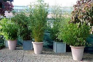 Bambus Im Garten : garten moy bambus als kuebelpflanze hauenstein rafz ~ Markanthonyermac.com Haus und Dekorationen