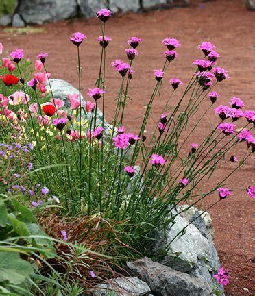 "Dianthus Carthusianorum ""clusterhead Pink"""