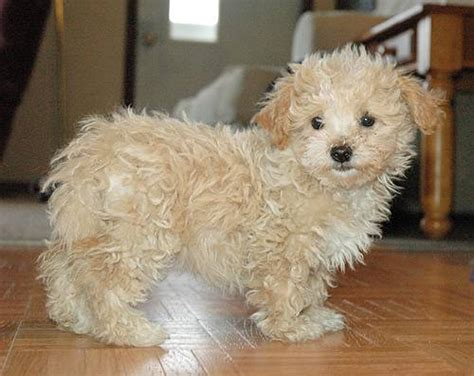 what is a maltipoo blurtit