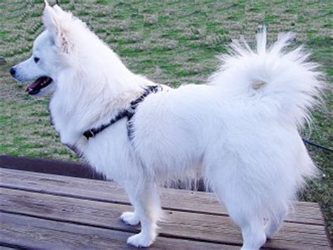 american eskimo health problems breeds picture