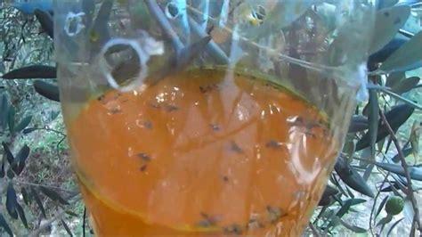 le pi 233 geage de masse olive mouche des fruits et la mouche des fruits bactrocera ceratitis