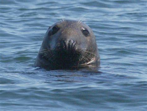 Gray Seal Molting Season Ends
