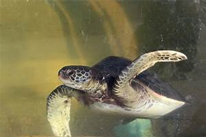Endangered Eastern Pacific Green Sea Turtles - Living ...