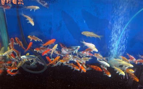 introduire des carpes koi dans un aquarium