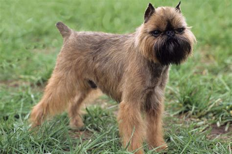 brussels griffon images frompo