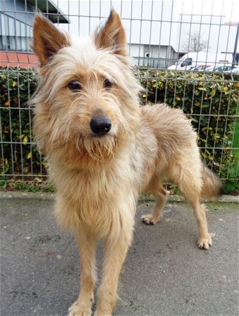 arnold chien berger picard 224 adopter dans la r 233 gion bretagne