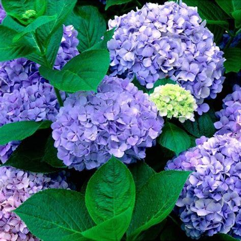 hortensia bleu renate steiniger en vente chez plantes et nature
