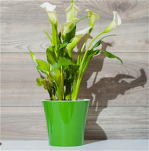 calla et anthurium des fleurs color 233 es en int 233 rieur