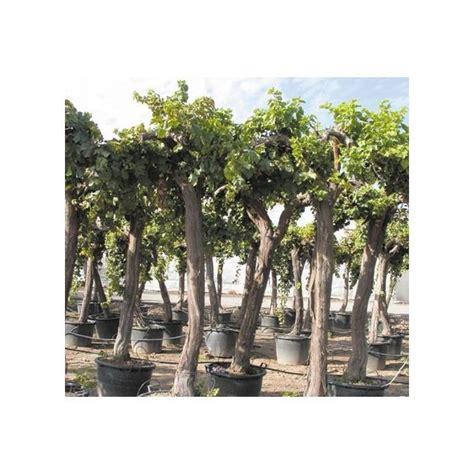 cep de vigne plantes et jardins