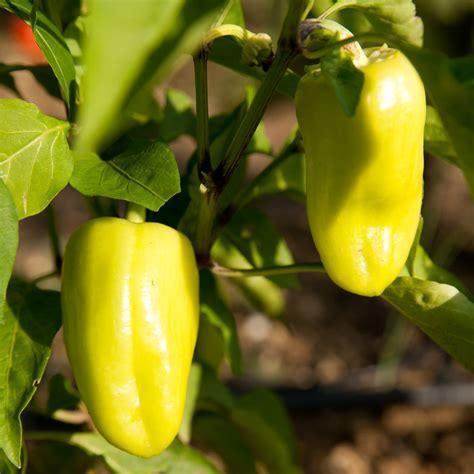 Paprika Im Garten Anbauen » So Erzielen Sie Eine