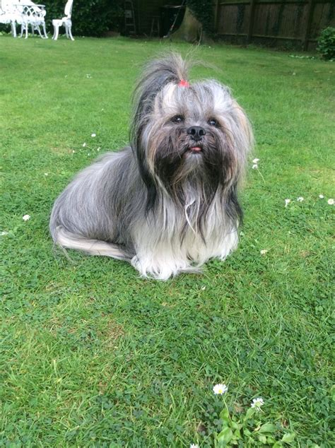 17 best images about lhasa apso on photographs best dogs and puppys