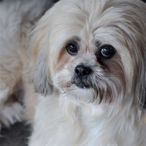 lhasa apso reminds me of my sweet peekaboo lhasa apso