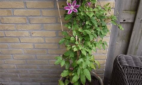 clematis plant care growing planting cutting clematis diseases pests seed germination leaves