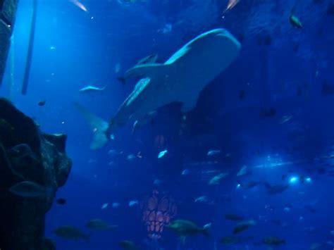 requin baleine de l aquarium picture of atlantis the palm dubai tripadvisor
