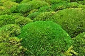 Pflanzen Japanischer Garten Anlegen : japanischen moosgarten anlegen moos japanischer garten frisches moos pflanzen eur 17 49 ~ Markanthonyermac.com Haus und Dekorationen