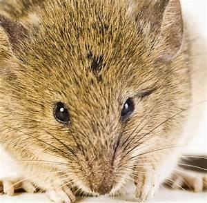 Mäuse Im Keller : giftresistenz freak maus evolution auf frischer tat ertappt welt ~ Markanthonyermac.com Haus und Dekorationen