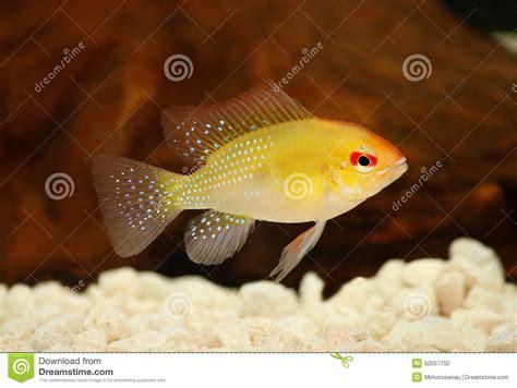poissons d or d aquarium de ramirezi de mikrogeophagus de cichlid de ram photo stock