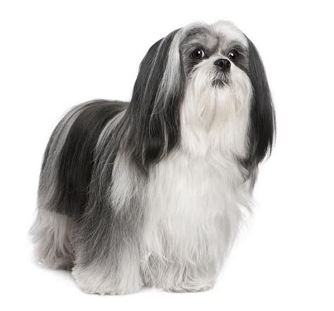 17 best images about lhasa apso on sweet havanese puppies and my name is