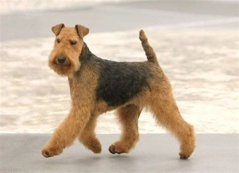low shedding dogs uk top 10 low shedding breeds i don t why they