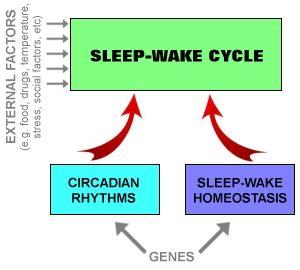Sleep Wake Cycle by Sleep How Sleep Works The Two Process Model Of Sleep