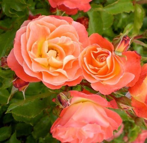 15 papio valley nursery pazazz flare portulaca garden annuals papio valley