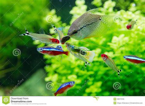poissons exotiques dans l aquarium d eau douce photo stock