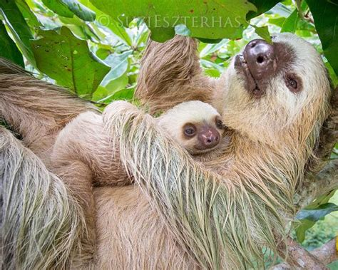 Mom And Baby Sloth Snuggling Photo How To Style Mens Medium Long Length Hair Easy Updos For Korean Male Hairstyle Name Do Big Loose Curls Short Cute 5 Minute Hairstyles Posters Best Haircuts Square Faces Female 2 Treat Dry Damaged
