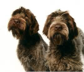 wirehaired pointing griffons bluestem kennels
