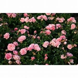 Rosen Kaufen Günstig : botticelli und andere rosen kaufen sie g nstig im online shop von rosen ~ Markanthonyermac.com Haus und Dekorationen