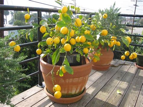 how to grow a meyer lemon tree from seeds ya chit chat