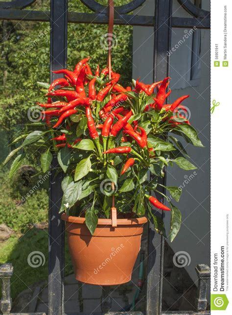 culture domestique des poivrons de piments rouges dans un pot poivrons de piments dans les