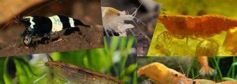 crevettes d eau douce pour aquarium a vendre aquael decolight led w clairage pour nano