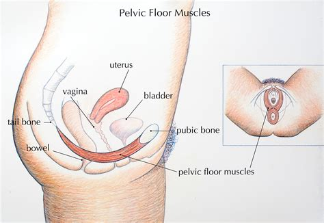 100 pelvic floor muscles anatomy pelvic floor dysfunction in elite sport diaphragm