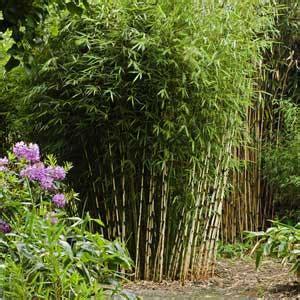 fargesia robusta bambou cespiteux non tra 231 ant pour haie achat vente prix moneden