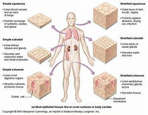 25+ best ideas about Human tissue on Pinterest | Nerves of ...