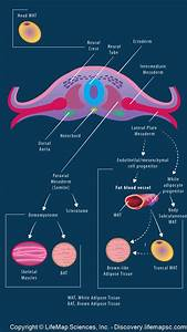 Embryonic Adipose Origin infographic - LifeMap Discovery